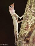 Blue-eyed lizard in Malaysian rainforest