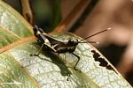 Black grasshopper with yellow stripes