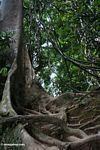Buttress roots and tangled lianas