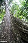 Buttress roots of a rain forest canopy tree