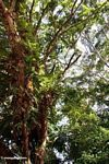 Ferns and other epiphytes in a canopy tree