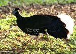 Male Great Argus Pheasant (Argusianus argus)