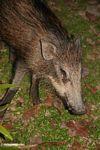 Wild boar in Malaysia