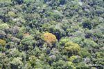Aerial view of flowering trees in the rainforest canopy