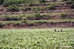 Andean farmers working maize field