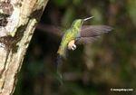 Lafresnaya lafresnayi hummingbird in mid-flight