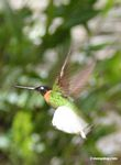 Coeligena (inca) torquata hummingbird in flight
