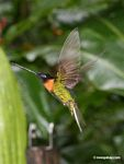 Coeligena (inca) torquata hummingbird