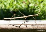 Large stick insect