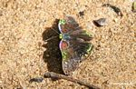 Multi-colored butterfly on a beach (unknown species)