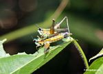 Multi-colored grasshoppers mating