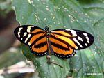 Lycorea halia butterfly