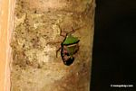 Green, brown, and black Pentatomidae Stink Bug