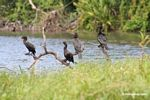 Four Neotropic cormorants (Phalacrocorax olivaceus) on tree branch