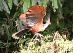 Hoatzin (Opisthocomus hoazin) in vegetation along oxbow lake