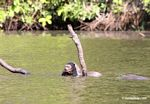 Giant river otter eating a fish in the Amazon [manu-Manu_1022_2220]