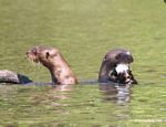 Pair of giant river otters