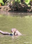 Giant river otter with fish hanging out of its mouth