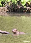 Giant river otter with fish tail hanging out of its mouth