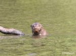 Amazon giant river otter making an agry face