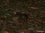 Agouti in forest clearing