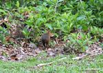 Agouti in forest clearing [manu-Manu_1023_1920]