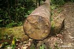 Felled rainforest tree