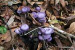 Purple mushrooms [manu-Manu_1023_1977]