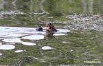 Giant River Otter feeding on fish