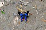 Rhetus periander butterfly
