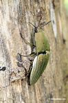 Ceiba borer beetle (family Elateridae). This beetle feeds on the kapok tree