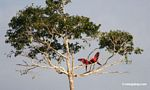 Pair of red-and-green macaws fighting in a tree as parrots watch