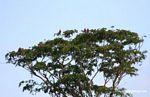 Red-and-green macaws [manu-Manu_1024_2637]