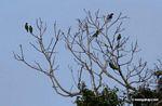 Blue-headed parrots (Pionus menstruus) in tree