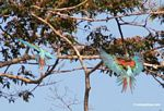 Red-and-green macaws [manu-Manu_1024_2642a]