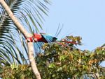 Red-and-green macaws [manu-Manu_1024_2652a]