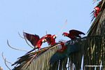 Red-and-green macaws (Ara chloroptera) in palm tree