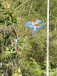 Red-and-green macaws (Ara chloroptera)