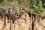 Red-and-green macaws (Ara chloroptera) [manu-Manu_1024_2773]