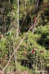 Red-and-green macaws (Ara chloroptera) [manu-Manu_1024_2780]