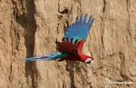 Red-and-green macaws (Ara chloroptera) [manu-Manu_1024_2785a]