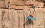 Red-and-green macaws (Ara chloroptera) [manu-Manu_1024_2787a]