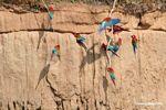 Red-and-green macaws (Ara chloroptera) [manu-Manu_1024_2798]