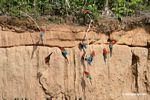 Red-and-green macaws (Ara chloroptera) [manu-Manu_1024_2799]
