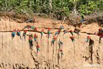 Red-and-green macaws (Ara chloroptera) [manu-Manu_1024_2815]
