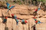 Red-and-green macaws (Ara chloroptera) [manu-Manu_1024_2849a]