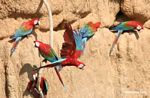 Red-and-green macaw (Ara chloroptera) on clay lick