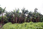 Banana plantation in rainforest