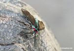 Turquoise fly with black wings and bright red eyes