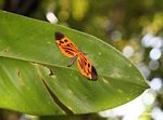 Possibly a Heliconius butterfly (species unknown)